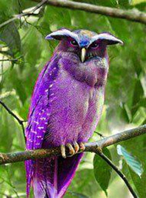 Owl Purple philippines blue owl related keywords philippines blue