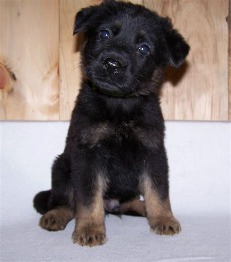 west virginia puppies males german shepherd breeder west virginia german shepherds for sale german