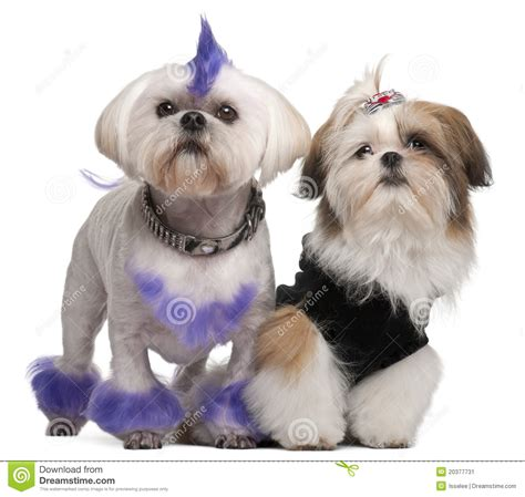 shih tzu years shih tzu 2 years shih tzu puppy stock image image 20377731