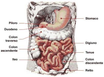 organi interni addome lato destro mappa apparato digerente da modificare