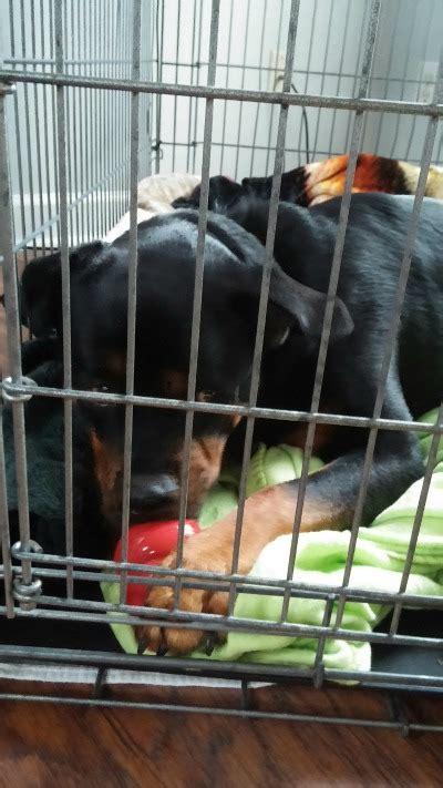 rottweiler rescue foundation rottweiler hearts rescue petfinder foundation