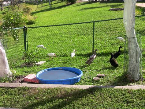 backyard duck backyard duck pond www pixshark com images galleries