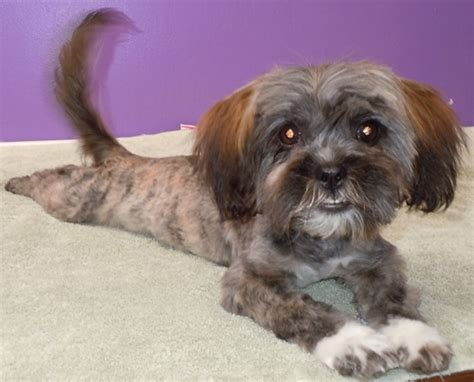 shih tzu terrier mix weight mina terrier yorkie humane society of dallas county