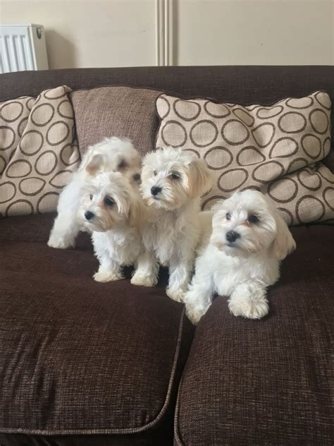 havanese puppies uk 2 havanese puppies felixstowe suffolk pets4homes