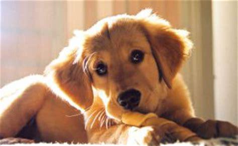 can puppies rawhide bones rawhide bones the the bad the downright dangerous
