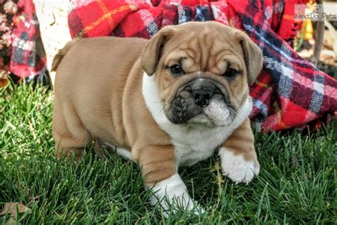 beabull puppies for sale near me beabull puppy for sale near akron canton ohio 0258a2f4 0721