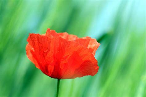 papavero fiore foto gratis giardino foglia flora estate fiore