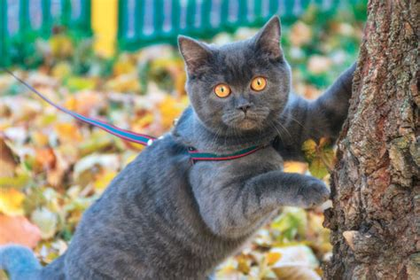 can you train a cat to go outside for bathroom train your kitty to walk with a cat harness and leash catster