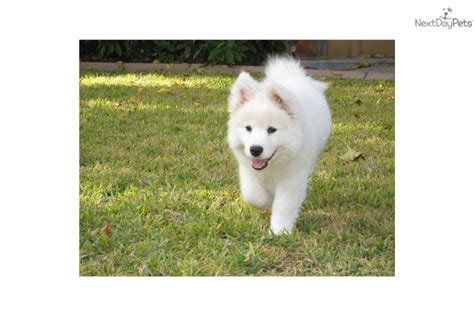 samoyed puppies seattle samoyed breeders in washington state myideasbedroom