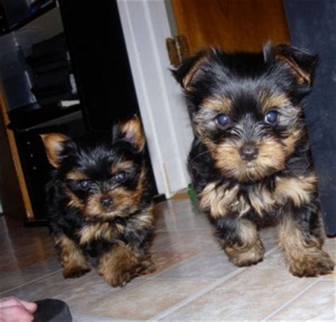 teacup yorkies for adoption in ohio pets grove city oh free classified ads