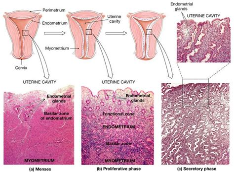 Shedding Thick Uterine Lining by 100 Uterine Lining Shedding During Period What You