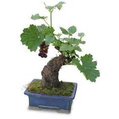Cabernet Grapevine Bonsai It Or It by Oldest Bonsai Tree Pictures Responses To Most Expensive
