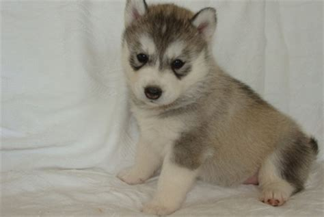husky puppies for sale ny siberian husky puppies ny husky puppies nj siberian husky puppies breeds picture