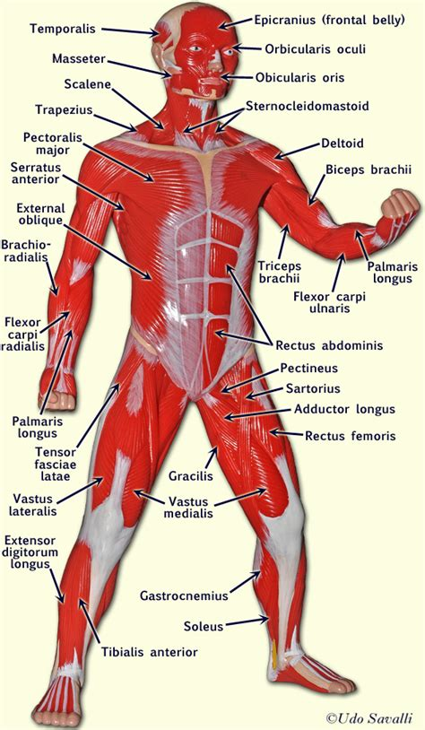 Finder Pa Gallery Human Model Anatomy Diagram Charts