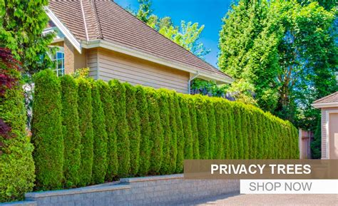 best backyard trees for privacy best trees for trees 28 images guide to choosing trees