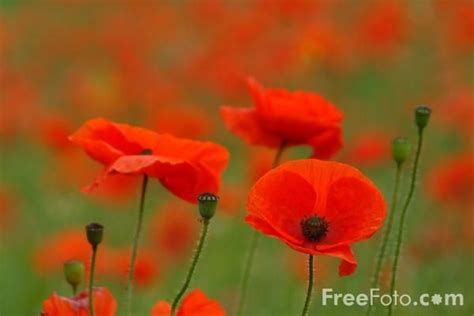 16 best poppies images on pinterest poppies red poppies and poppies painting
