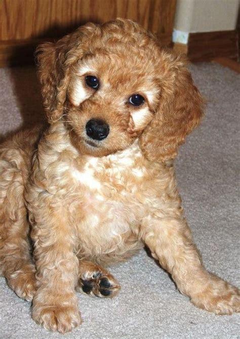 cost of labradoodle puppy pretty labradoodle puppy