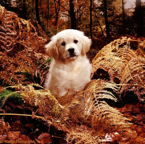 golden retriever puppy teeth falling out golden retriever puppy lala in autumn woods source of