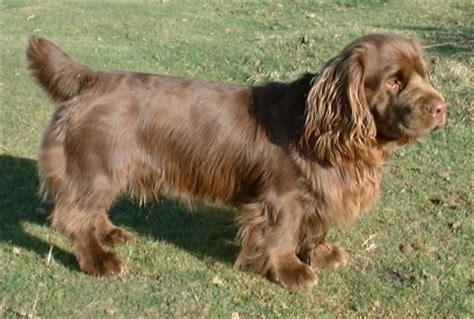 sussex spaniel puppies sussex spaniel info temperament puppies pictures