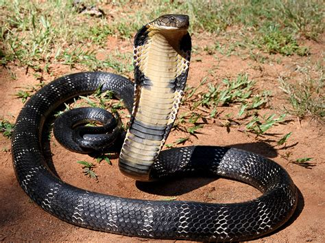 File:12   The Mystical King Cobra and Coffee Forests   Wikimedia Commons