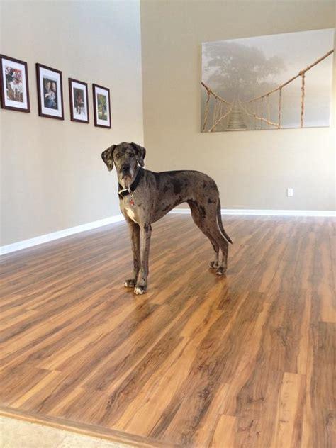 pergo flooring reviews dogs meze blog