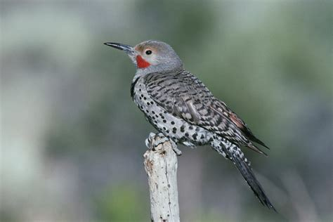 northern flicker colaptes auratus wildlife journal junior