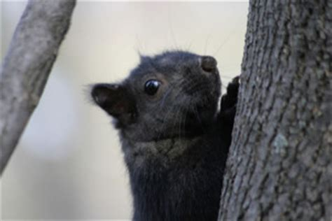 toronto savvy introducing toronto s black squirrels we