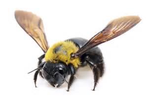 carpenter bee facts carpenter bee control terro 174