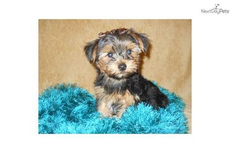 my new yorkie puppy terrier yorkie puppy for sale near southeast missouri missouri e919af0a