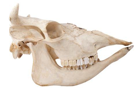 cow skull cabinet of curiosities excerpt the skulls and teeth of
