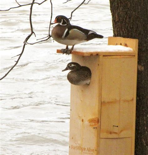 pattern for wood duck box photo robin bird house plans images robin bird house