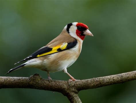 european goldfinch european goldfinch carduelis