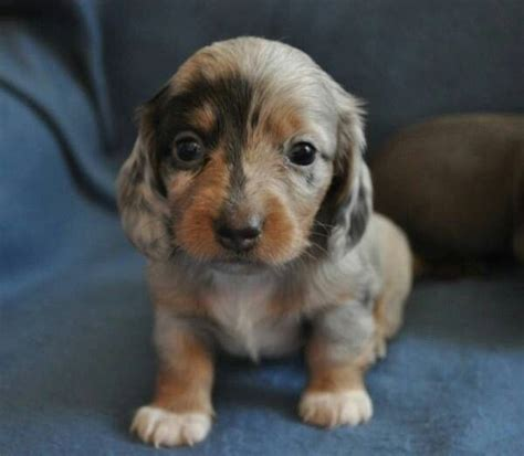 baby dachshund puppies 2473 best and they called it puppy images on dachshund