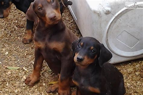 doberman puppies cost doberman pinscher puppy for sale near los angeles california d49bc015 42b1