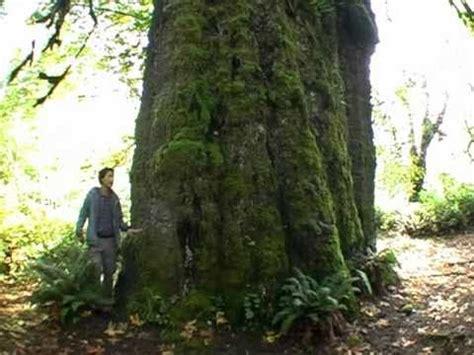 canadian spruce tree canada s largest spruce tree the san juan spruce