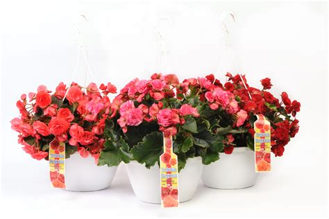 Begonia Basket 1 10 solenia 174 begonia hanging basket wholesale bedding