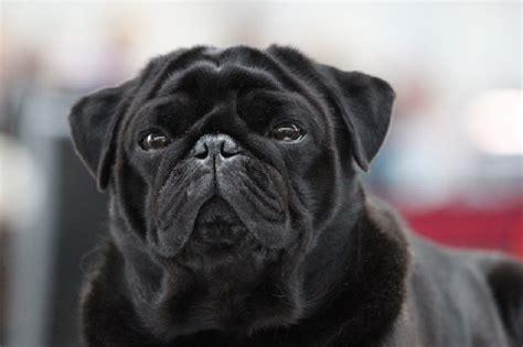 pug noir accueil elevage pitch black pugs eleveur de chiens carlin