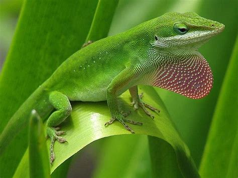 do geckos change color lizards and the language of colour change it sounds like