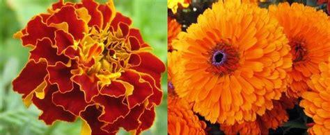 Pupuk Untuk Bunga Marigold tanaman hias pengusir nyamuk dalam rumah hal lima