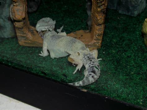 cichlids mike the leopard gecko shedding