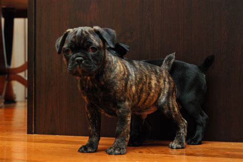 bugg puppies for sale 301 moved permanently