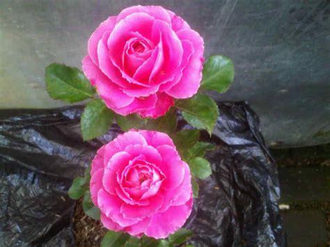 Jual Bibit Bunga Mawar Di Makassar jual tanaman mawar floribunda pink bibit