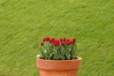 21 best ideas about tulips on pinterest gardens winter