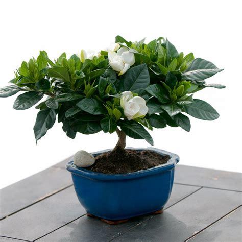 best fragrant indoor plants gardenia bonsai bonsai house plants emilysplants