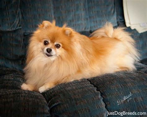 pomeranian large breed nala pomeranian breeds