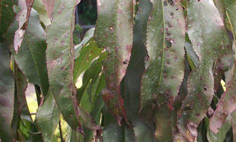 disease identification of peach weeping cherry tree yates