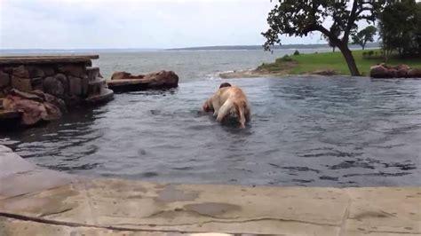 golden retriever saves boy golden retriever saves drowning boy who wasn t drowning