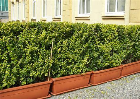Balkon Sichtschutz Pflanzen Winterhart by Ligustrum Ovalifolium Aureum Liguster Winterhart Als