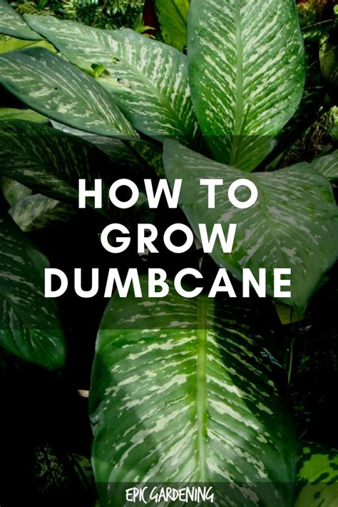 dieffenbachia plant care   grow dumb cane