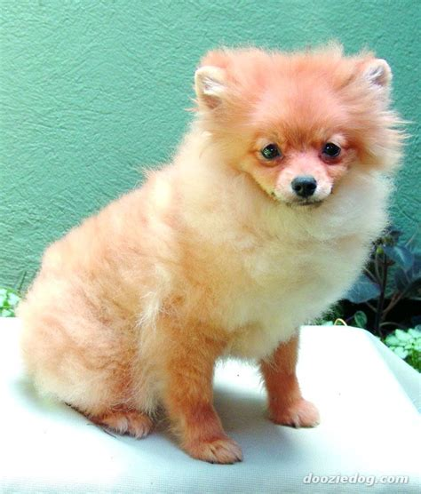 types of pomeranian dogs puppy pomeranian breeds picture
